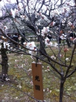 Many of the plum and cherry trees are labeled as to their specific type -- there are a lot of different ones