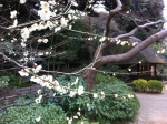 plum blossoms at Korakuen