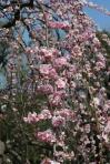 weeping pink cherry
