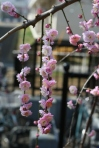 plum blossoms at Umegaoka