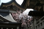 plum blossom near the front of yushima tenjin shrine