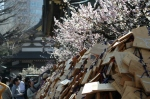 Blossoms and blessing plaques at Yushima Tenjin